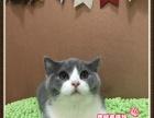 超肥美的英短猫蓝白双色小美女3号-思晴名猫坊