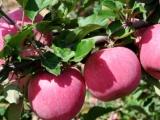 成都水果批发配送上门食堂机关单位长期供应品种齐全