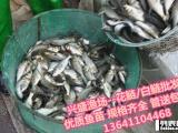 通州区观赏鱼大量供应/淡水鱼苗大量供应