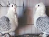乐山哪里有卖淑女鸽的,一对淑女鸽需要多少钱出售各种观赏鸽肉鸽
