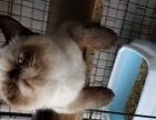 布偶猫4800元转让喜马拉雅猫