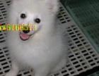 选择我们就是选择值得信赖 纯种银狐犬低价出售