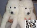 出售纯种大白熊幼犬 价格合理品质保证可上门挑选
