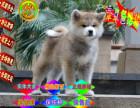 哪里有出售(秋田幼犬)包纯种健康多少钱一只