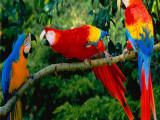 本溪明山亚马逊鹦鹉繁殖