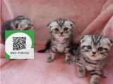 柳州哪里有宠物猫出售,柳州哪里有卖纯种折耳猫价格