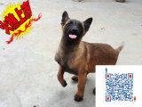 上海哪里有卖马犬的 马犬一般多少钱