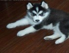 哈士奇雪橇犬/带血统证书/赠送狗证 可送货上门