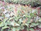 岑溪软枝油茶嫁接苗1-1-0