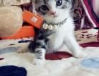 非猫舍自家美短虎斑折耳新生2月小猫