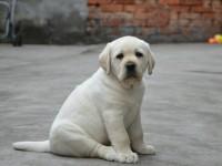 专业繁殖基地直销价 丨大骨量拉布拉多导盲犬幼犬