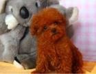 上海泰迪狗狗上海宠物狗狗幼犬上海哪里买泰迪幼犬