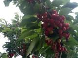 北京通州西集大櫻桃熟了