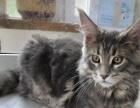 赛级缅因猫仔出售纯种带血统证书,价格亲民,猫在大连