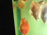 出售自养元宝鹦鹉鱼