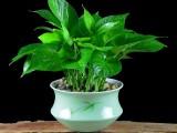 温州瑞安专业绿植租摆,绿化养护