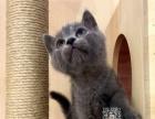 维尼猫舍出售纯种健康蓝猫 英国短毛猫大包子脸幼猫崽