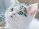 蕪湖正規貓舍出售美短 藍貓 金吉拉 加菲等