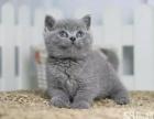 石家庄哪里有卖蓝猫 多少钱