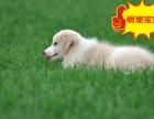 高品质赛级边境牧羊犬 可埋置芯片 带纯种犬血统证书