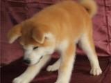 北京国泰宠物狗场出售纯种日本秋田犬多少钱秋田犬多少钱