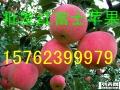 15762399979山东嘎啦/美八苹果产地