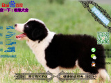 哪里有专门养边境牧羊犬的 纯种的多少钱一只