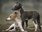 灵提犬价格灵提犬多少钱