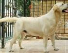 青岛拉布拉多借配配种双血统带证拉布拉多寻回猎犬种公黑黄奶白色
