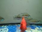 转宝增红鹦鹉饲料和红尾皇冠鱼