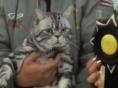 美短,美国短毛猫,品相极好,超大!超肥!