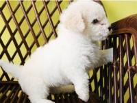 上海松江最大犬舍,专业繁殖世界各类名犬,