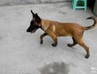 精品马犬幼犬纯血马犬出售,警觉性高,适应性强
