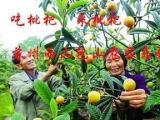 苏州包山农家乐为你提供吃饭吃枇杷的较好机会