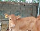 大量批发肉牛犊,黄牛犊,肉驴,波尔山羊,小尾寒羊,