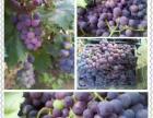 三门峡葡萄采摘 让你品尝较新鲜的美味葡萄
