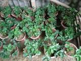 惠州草莓盆栽出售中,量大价优