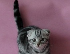 折耳猫幼猫折耳猫纯种宠物猫折耳猫包养活