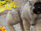 有猛兽之称的高加索犬,纯俄罗斯血系,强壮凶猛