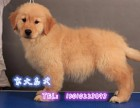 纯种金毛犬,赛级金毛,纯种健康,京大犬业