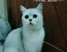 美短母猫已绝育,一窝2个月大的蓝白猫仔