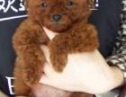 实体店出售精品泰迪熊犬 包犬瘟细小冠状 包建康签协议