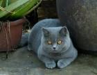 杭州 蓝猫多少钱哪里有卖