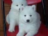 鹰潭哪有萨摩耶犬卖 鹰潭萨摩耶犬价格 鹰潭萨摩耶犬多少钱