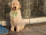 里出售金毛犬 純種金毛犬錢