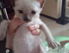 自家的小暹罗猫无病无藓健康纯正800
