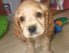 佛山哪有可卡犬卖 佛山可卡犬价格 佛山可卡犬多少钱