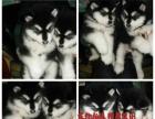 阿拉斯加赛级犬纯种健康可以签订协议——看图片联系我