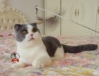折耳猫蓝白苏格兰折耳猫通脖小公猫DD宠物小猫咪