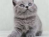 江苏苏州双血统澳血蓝猫多少钱
